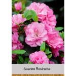 Азалия Rosinetta