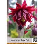 Аквилегия Ruby Port