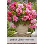 Бегония (Begonia) Cascade Florence
