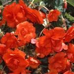 Бегония махровая (dbl.) Double scarlet