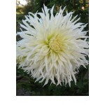 Георгина кактусовая, крупноцветковая Tsuki-yori-noshisha