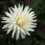 Георгина полу-кактусовая (semi cactus) Tu-Tu