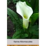 Калла (Zantedeschia) Albomaculata