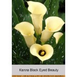 Калла (Zantedeschia) Black Eyed Beauty