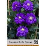 Клематис Kiri Te Kanawa