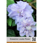 Клематис (Clematis) Louise Rowe