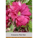 Клематис (Clematis) Red Star