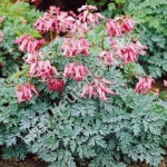 Дицентра (Dicentra)Candy Hearts®