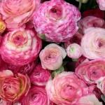 Лютик (Ranunculus) Picotee Pink