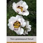 Пион деревовидный White 5 летний