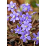 Печеночница (Hepatica) Blue Forest Hybrids®