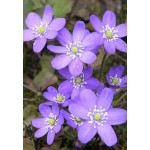 Печеночница (Hepatica) Blue Jewel