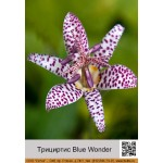 Трициртис Blue Wonder