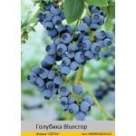 Голубика Bluecrop