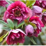 Морозник (Helleborus) Pretty Ellen Red®