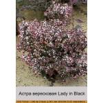 Астра вересковая Lady in Black