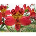 Альстромерия (Alstroemeria) Majestic Chinon®