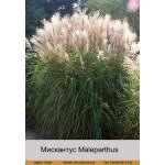 Мискантус Maleparthus