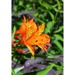 Альстремерия (Alstroemeria) Orange King