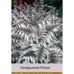 Кочедыжник Metallicum Pictum