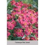 Гелениум Red Jewel