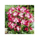 Альстромерия (Alstroemeria)  Red Lion
