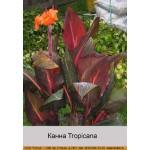 Канна Tropicana