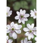 Печеночница (Hepatica) White Forest Hybrids®