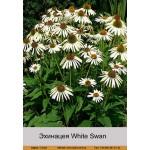Эхинацея White Swan