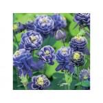 Аквилегия (Aquilegia)Winky Dbl. Blue & White