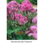 Василистник aquil. Purpureum