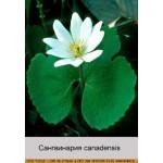 Сангвинария canadensis