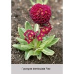 Примула denticulata Red