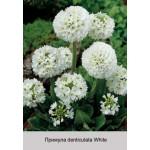 Примула denticulata White