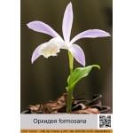 Орхидея formosana