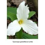 Триллиум grandiflorum white