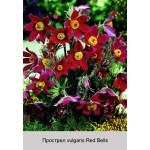 Прострел vulgaris Red Bells