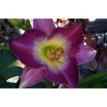 Лилейник (Hemerocallis) Nile Plum