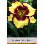 Лилейник  Calico Jack