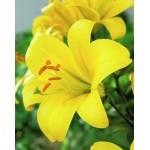 Трубчатая лилия Yellow Planet