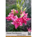 Азиатский махровый гибрид Pink Blossom