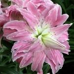 восточный гибрид махровый Lotus Elegance