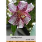 Видовая лилия Lankon