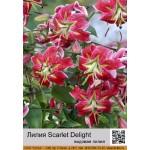 Видовая лилия Scarlet Delight
