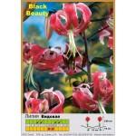 Видовая лилия Black Beauty