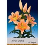 ОТ гибрид Orania