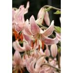 Видовая лилия Pink Morning