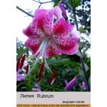 Видовая лилия Rubrum