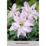 Азиатский гибрид  махровый Spring Pink