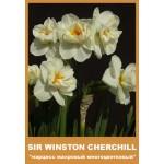 Нарцис махровый  Sir Winston Churchill